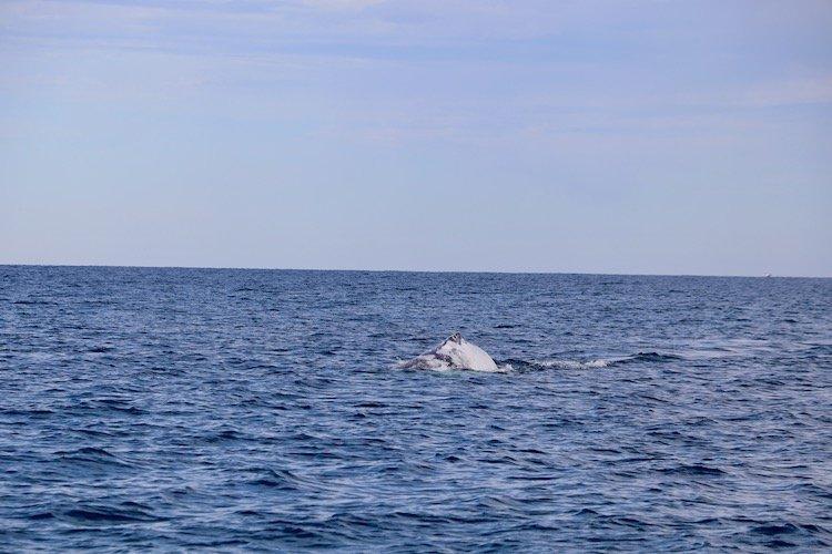 Humpback Whale Newcastle