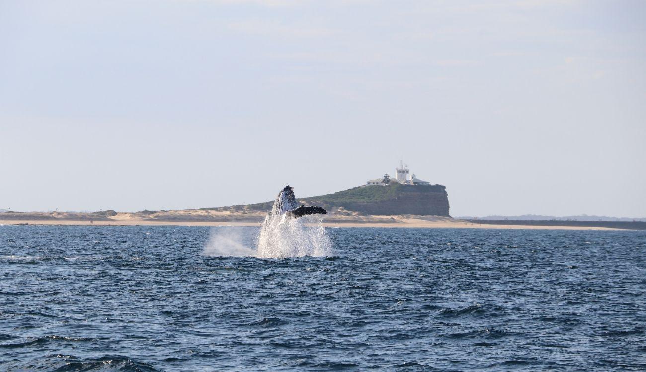 Humpback Whale Nobbys Beach