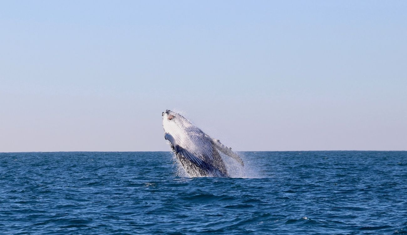 Humpback Whale Breach CoastXP