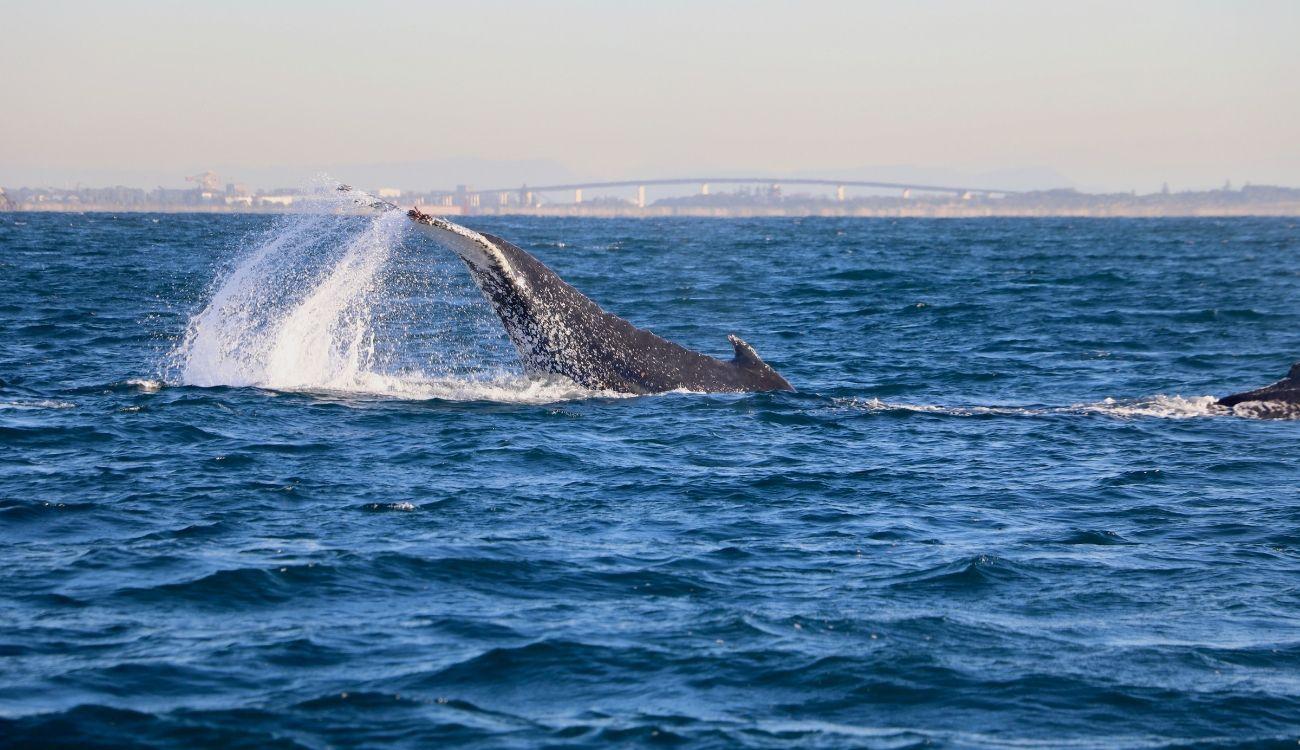 Fluke Slapping Whale