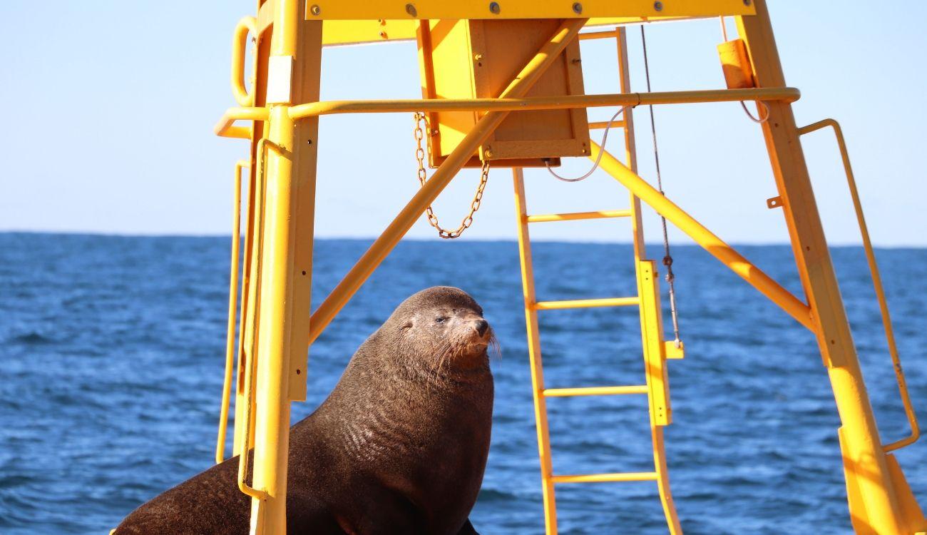 New Zealand Fur Seal CoastXP