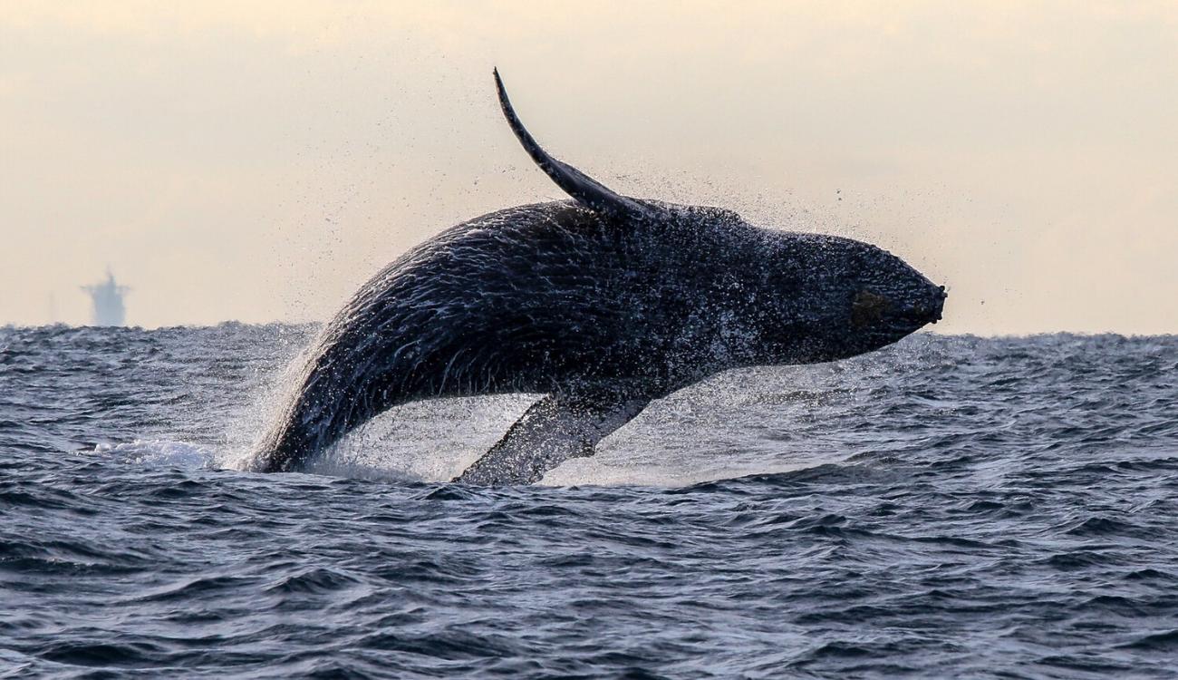 Whale Breach Sunrise